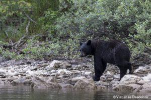 Fotografiando osos negros y las cascadas del Wells Gray Provincial Park