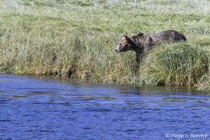 Osos Grizzly en Canadá: Excursión desde Telegraph Cove