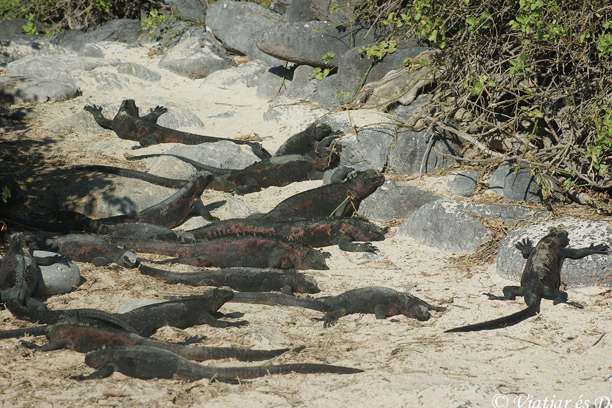 iguanas marinas islas galapagos