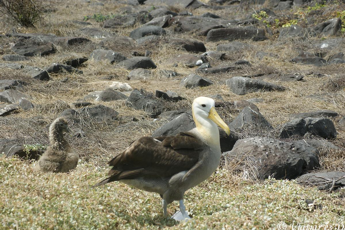 albatros en las islas galapagos