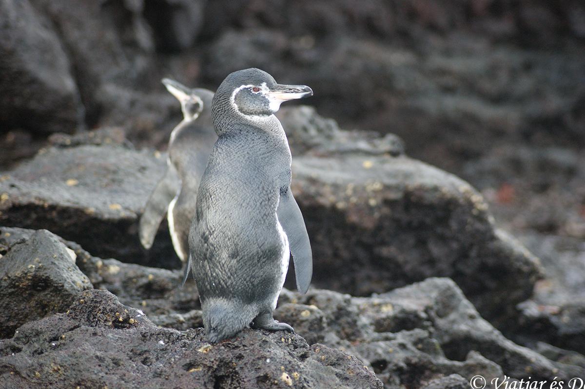 pinguinos en las islas galapagos