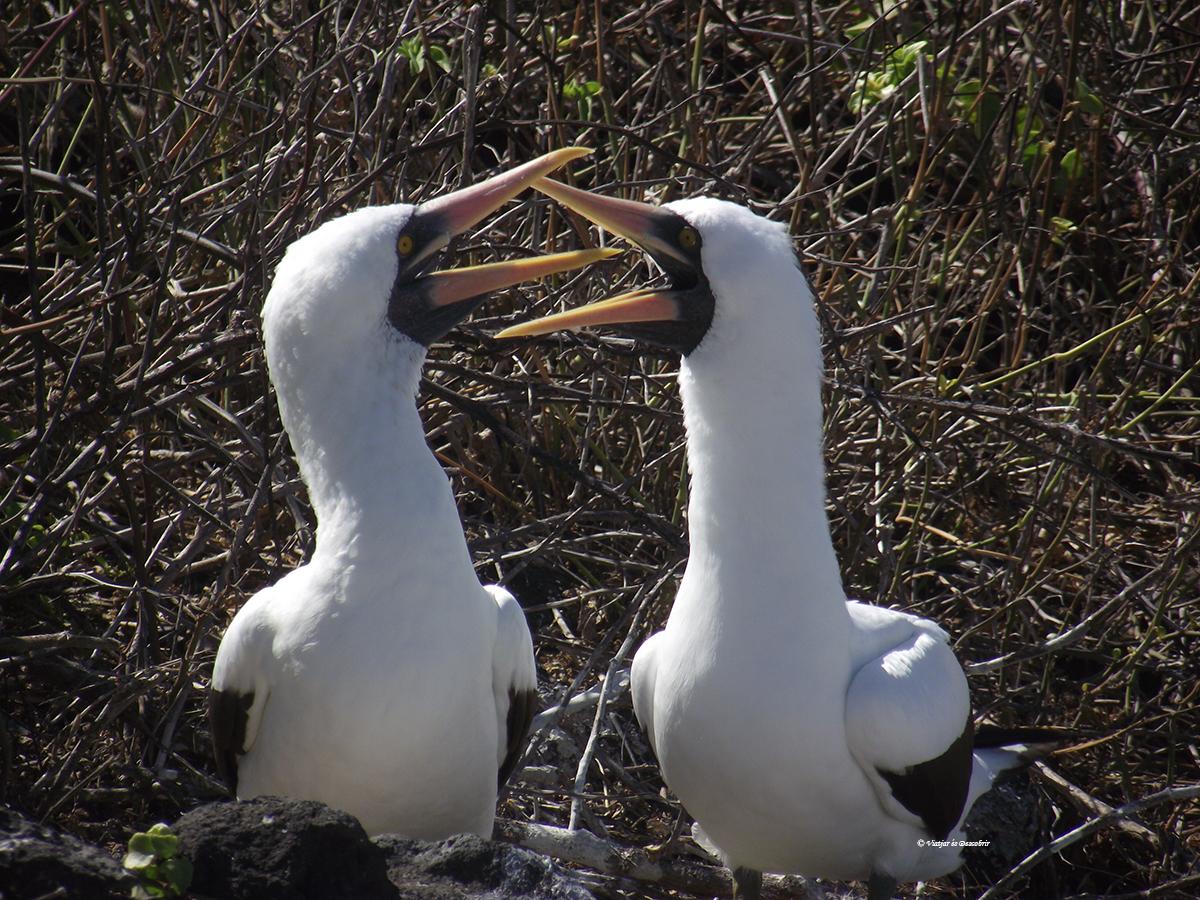 piqueros de nazca en las islas galapagos