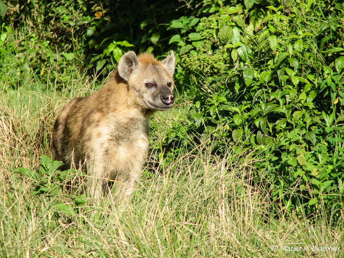 hiena durante un safari en kenia