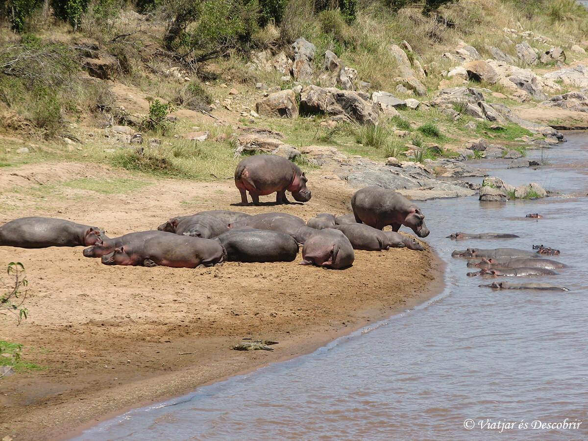 hipopotamos en la orilla del mara river en kenia
