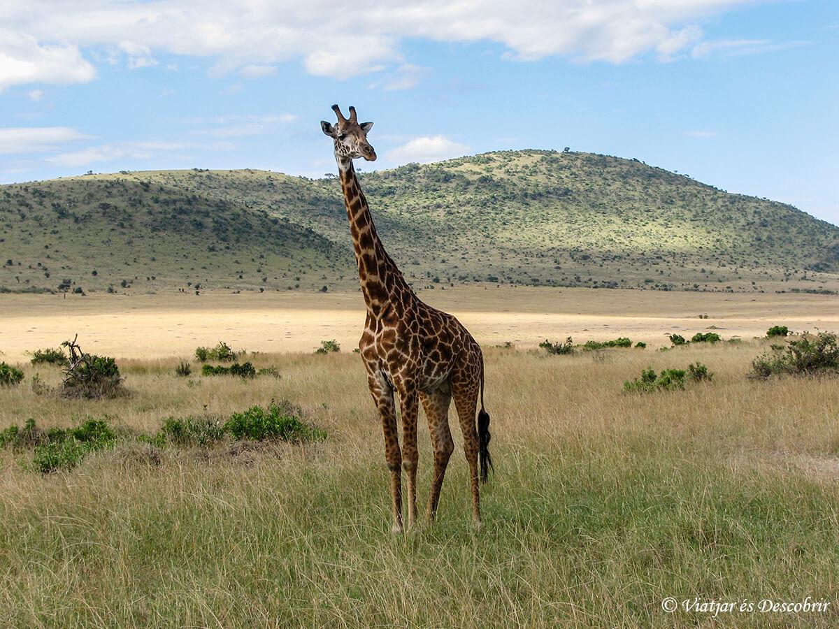 safari en masai mara kenia jirafa