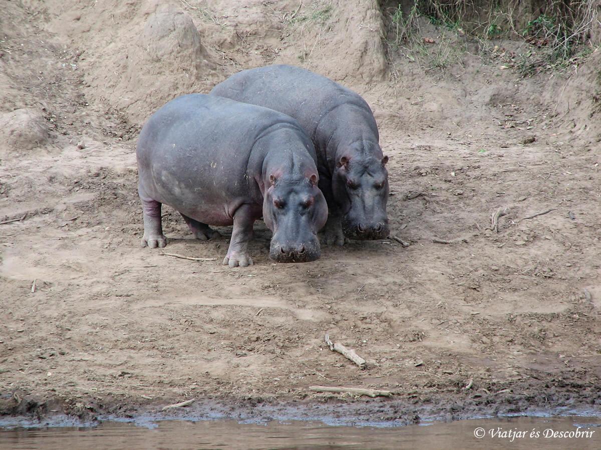 safari hipopotamos
