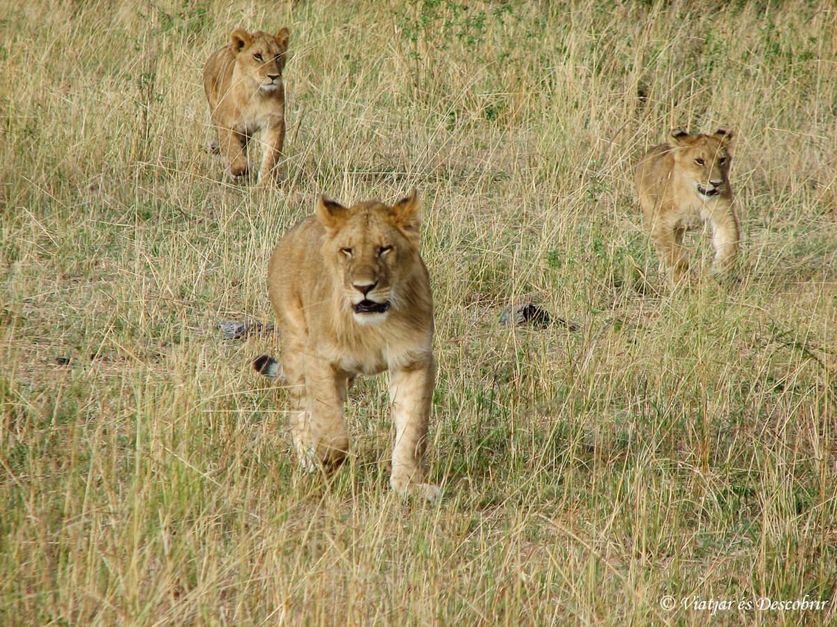 grupo leonas en el masai mara en kenia