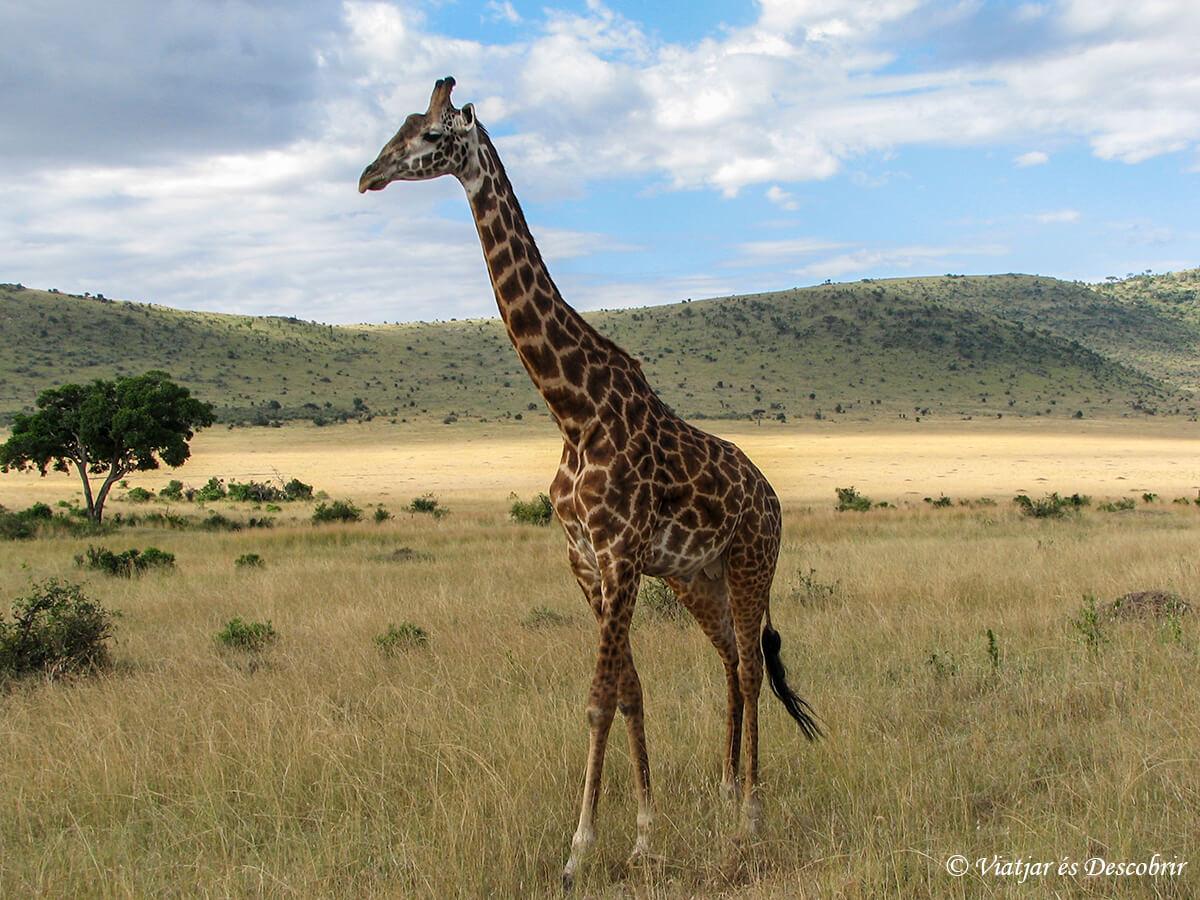 jirafas masai mara