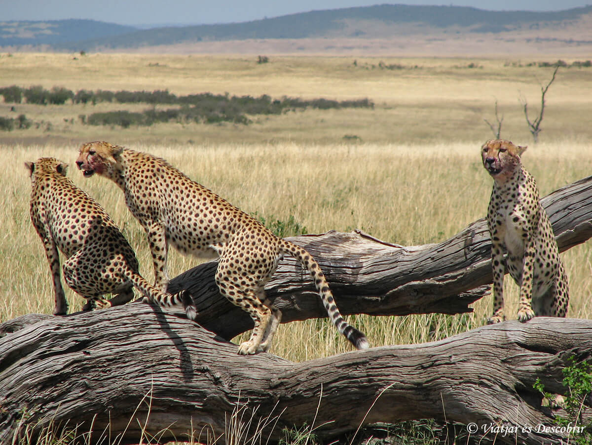 guepardos en el masai mara