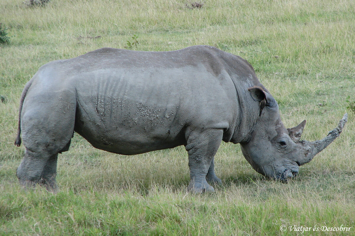 rinoceronte kenya nakuru