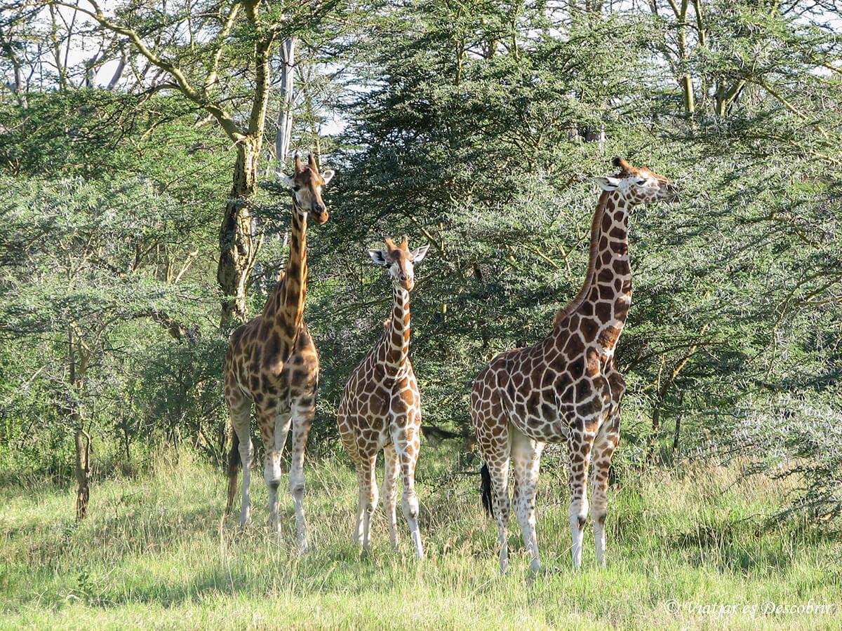 jiragas en un safari en el lago nakuru