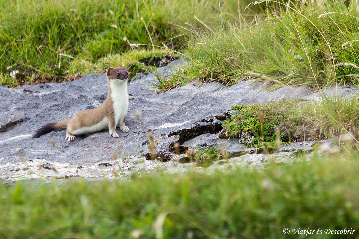 armiño en el parque nacional de ordesa y monte perdido