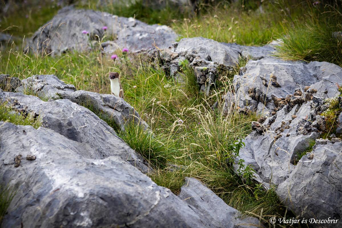 armiño en el parque nacional de ordesa