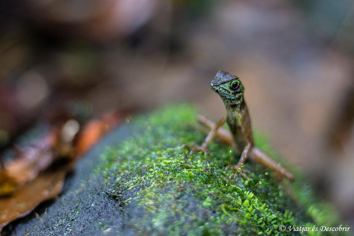 kangaroo lizard en Sinharaja Rainforest