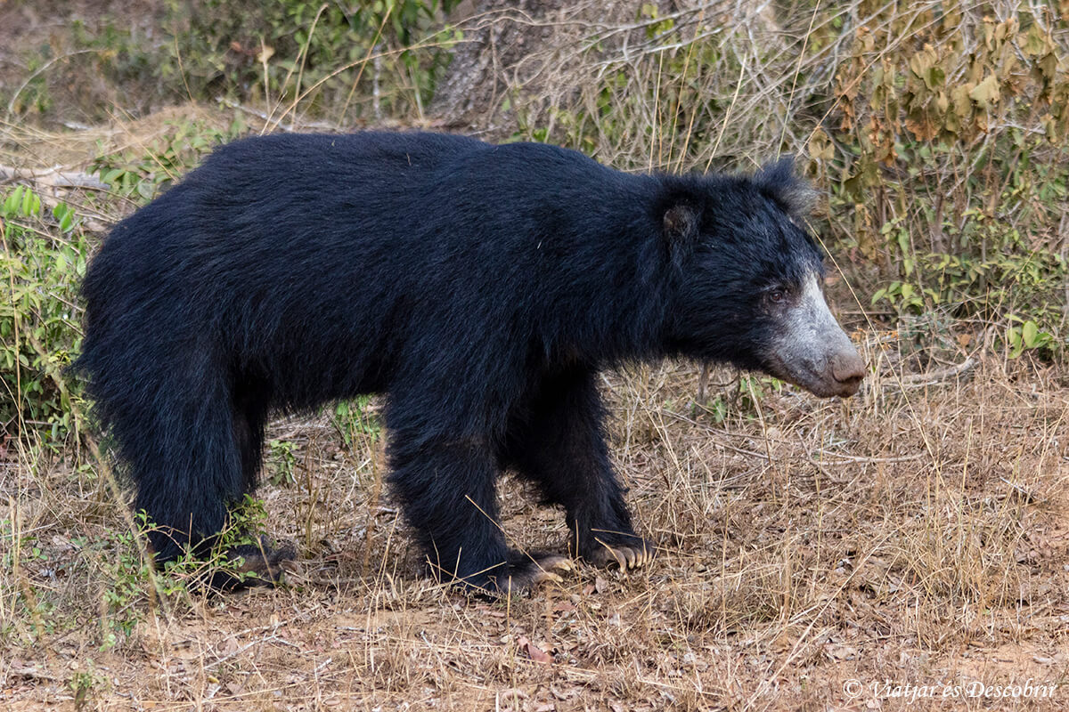 oso en el parque nacional wilpattu en sri lanka