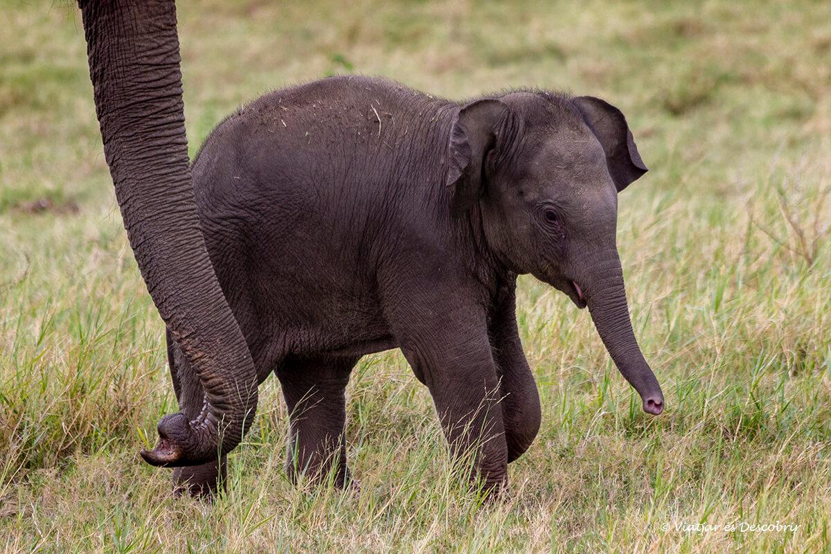 cria de elefante en el parque nacional kaudulla
