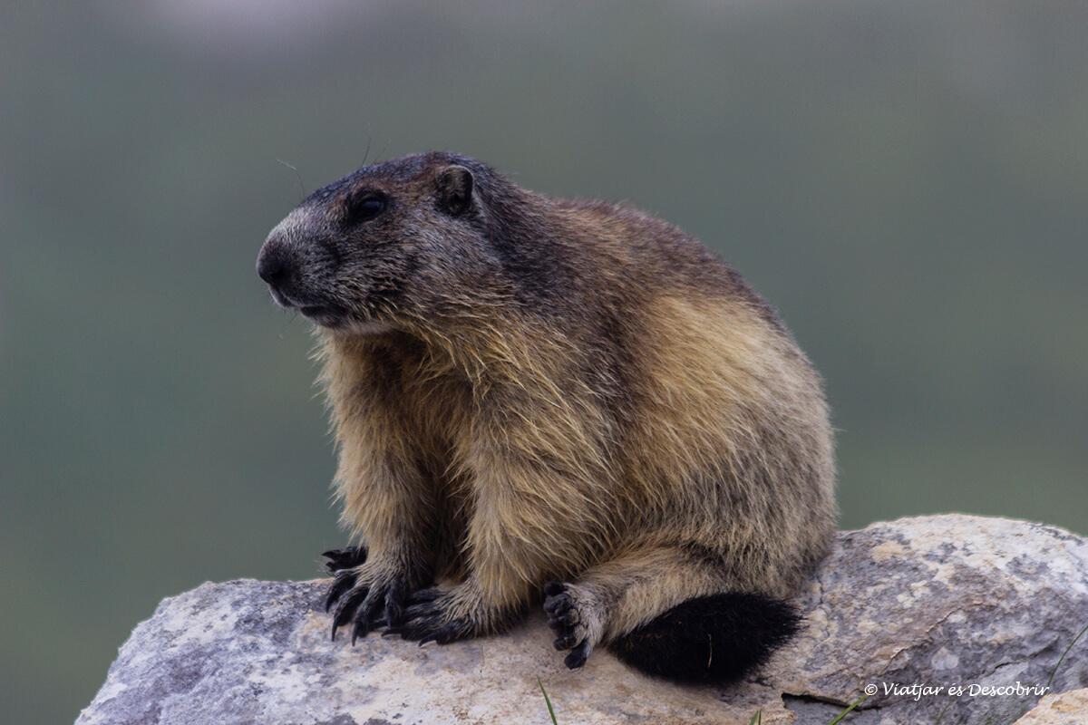 marmotas en el lago triglav