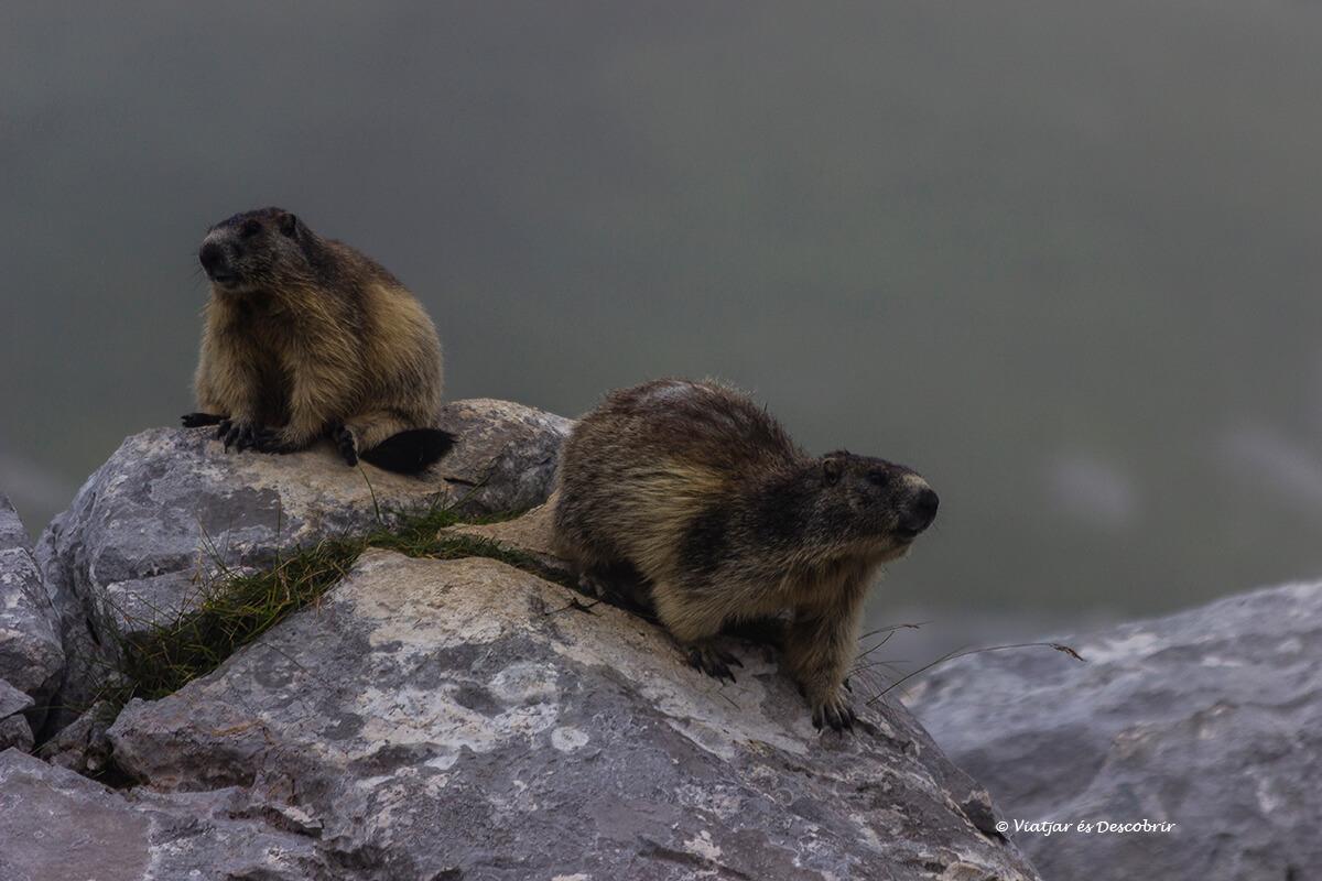 marmotas en el valle de los siete de lagos