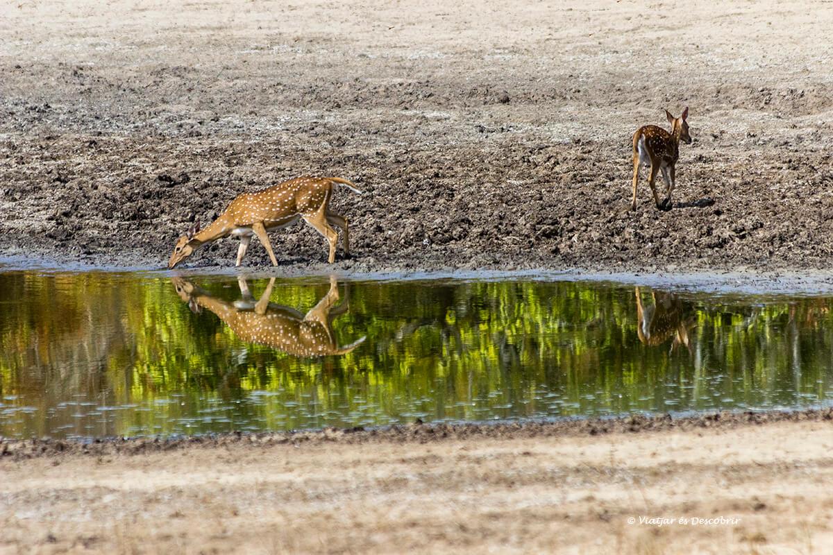ciervos durante un safari en el parque nacional wilpattu
