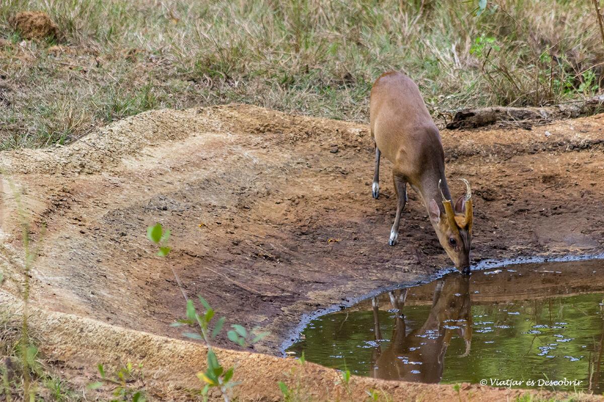 mutjac bebiendo agua en un lago en wilpattu