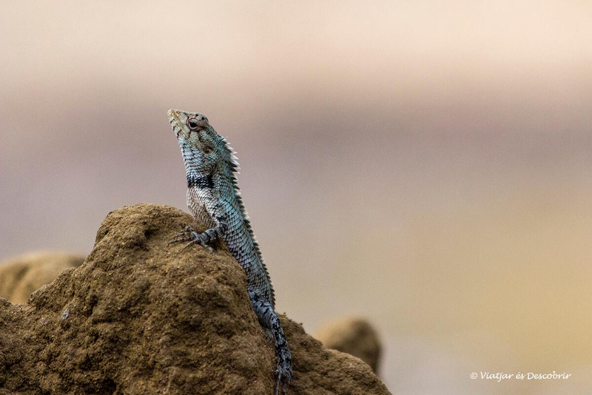 lagartija en el parque nacional wilpattu de sri lanka