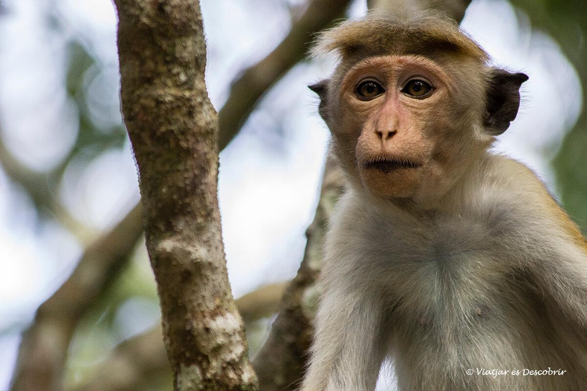 monos en el parque nacional wilpattu