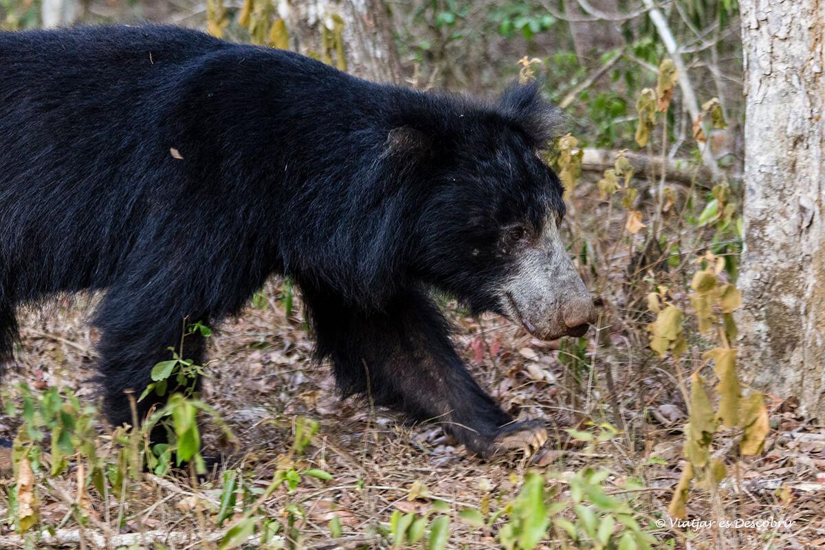 oso de sri lanka durante un safari en wilpattu