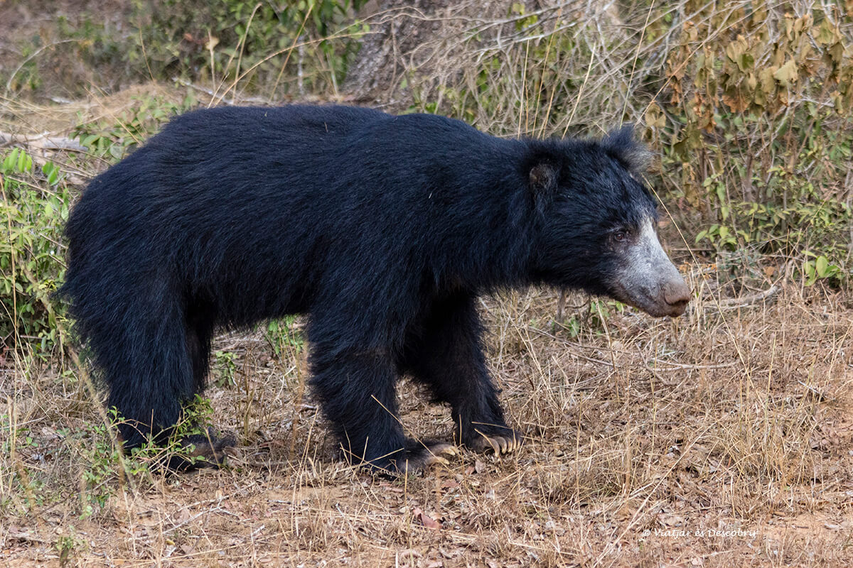 oso bezudo parque nacional wilpattu