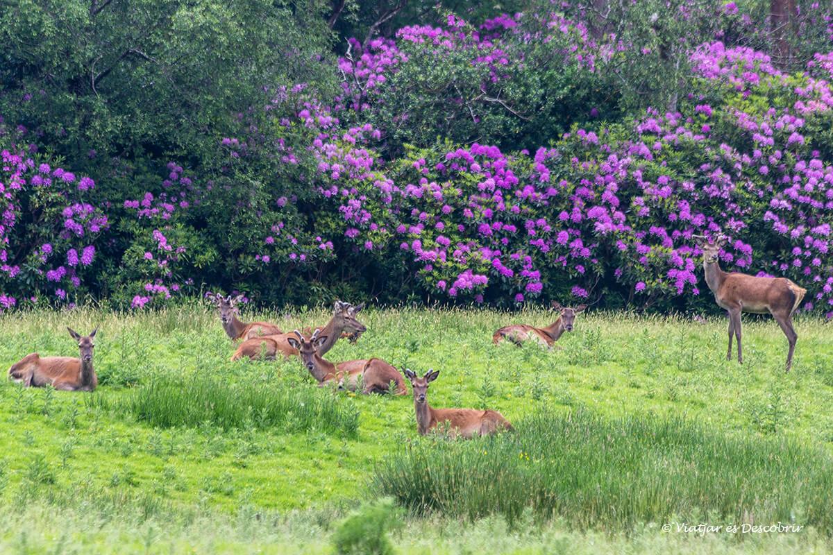 ciervos en killarney durante el viaje a irlanda