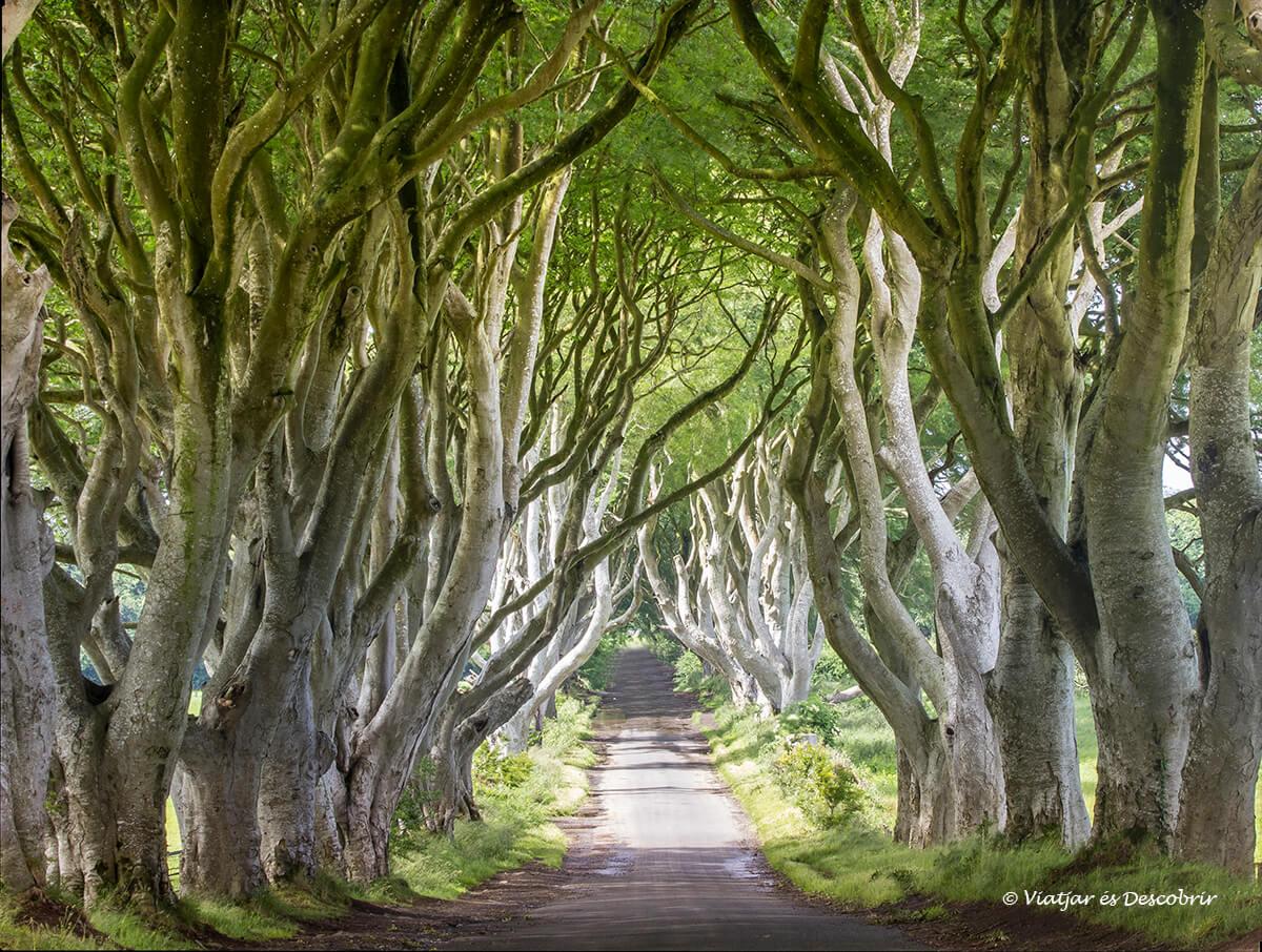 el bosque de dark hedges y la carretera