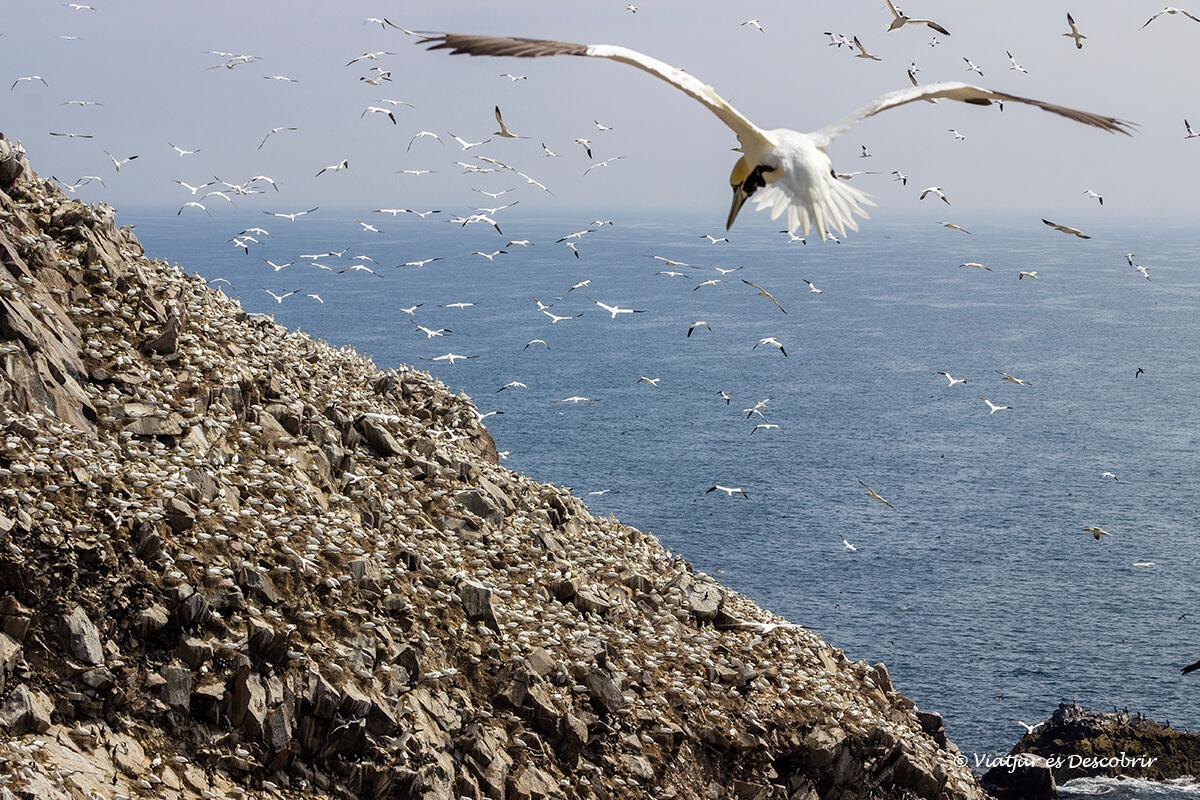 colonia de alcatraces durante el viaje a irlanda en las islas saltee