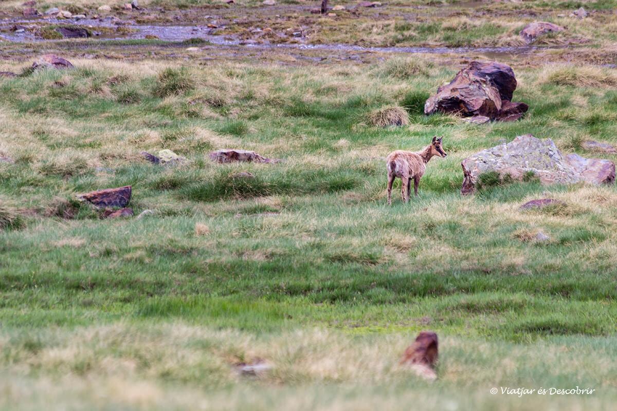 grupo de sarrios en el alt pirineu