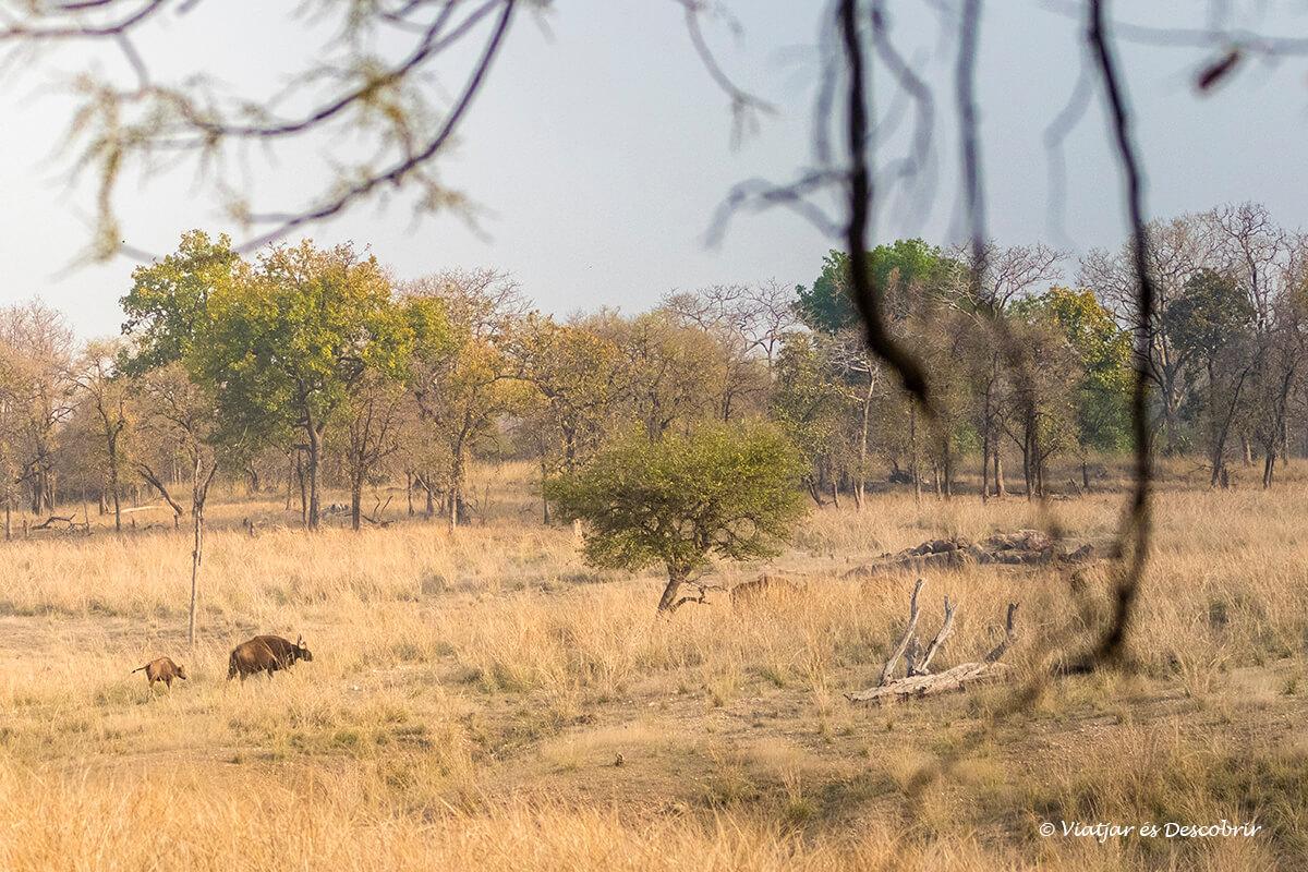 gaurs durante un safari en la reserva de pench en la india