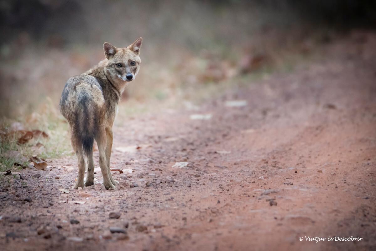 fauna en el parque nacional Pench durante el viaje a la india