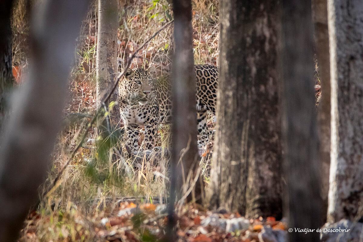 leopardo de la india en el parque nacional pench