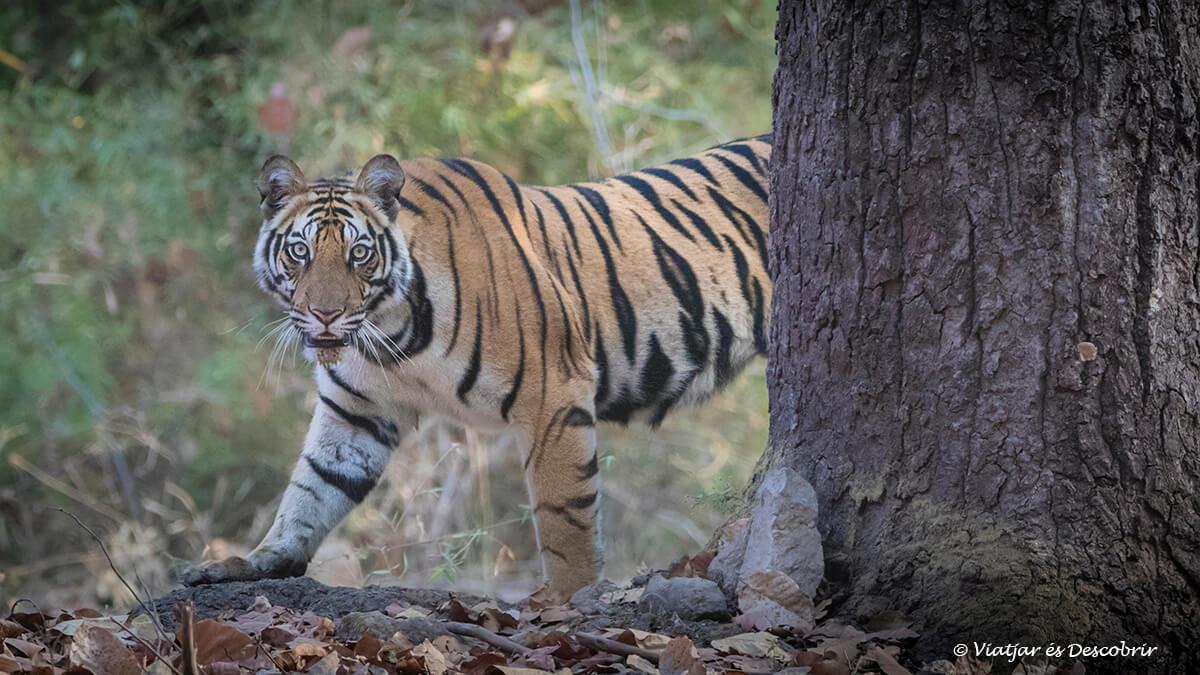 tigre de bengala en el viaje a la india