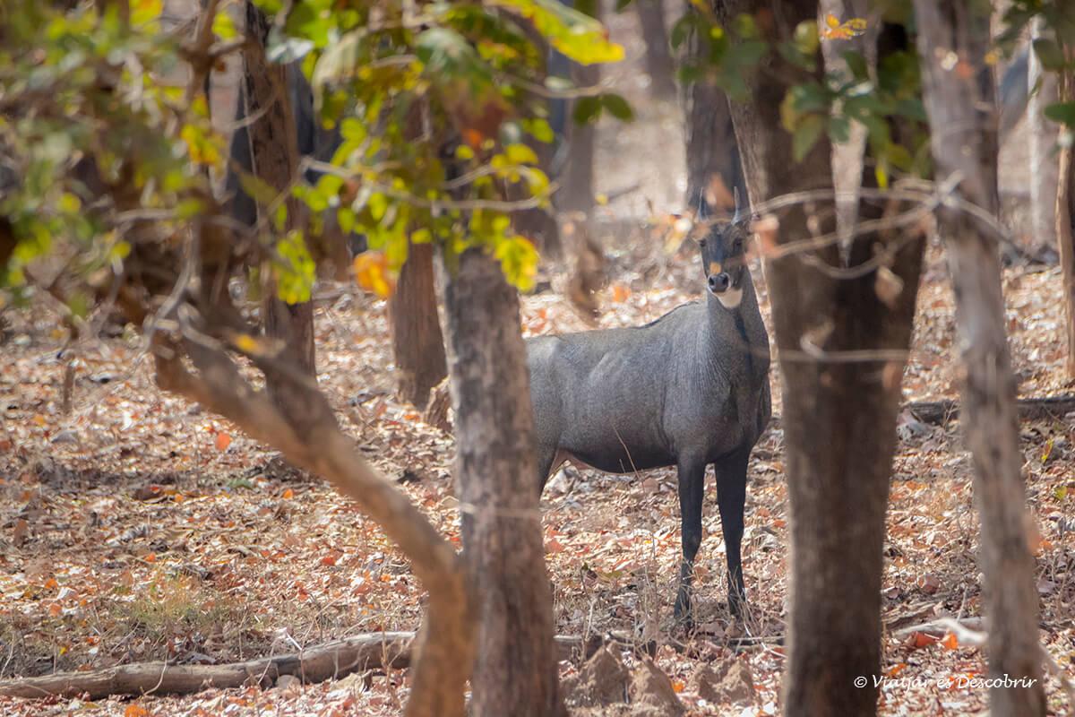 un nilgai antilope mayor de india