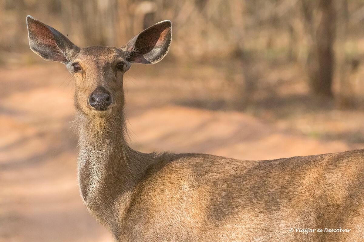 primer plano de un ciervo sambar a Kanha