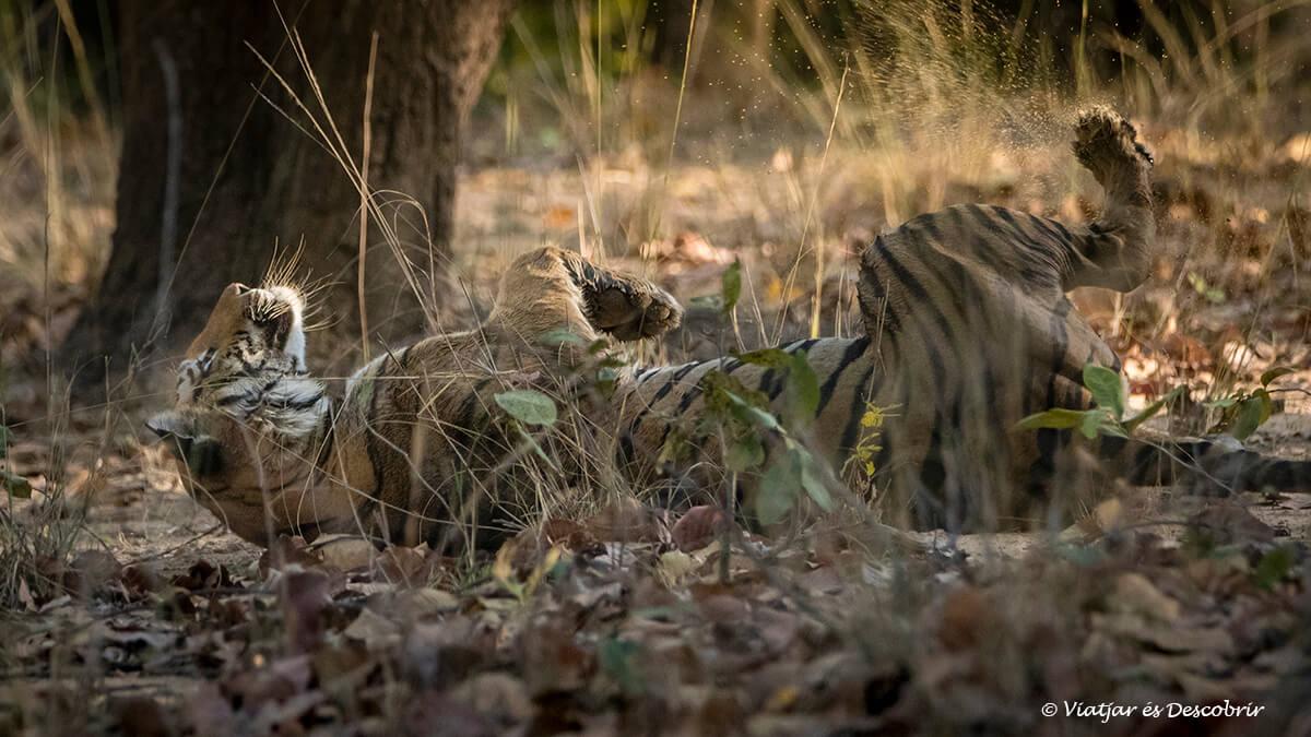 los primeros tigres del safari en Bandhavgarh en la india