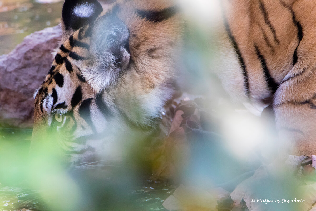 primer plano de un tigre de bengala bebiendo en bandhaghar en el viaje a la india