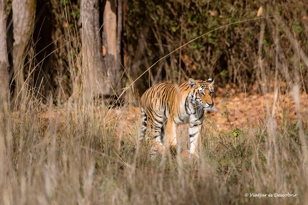 el primer tigre de bengala a Kanha durante el viaje a la india