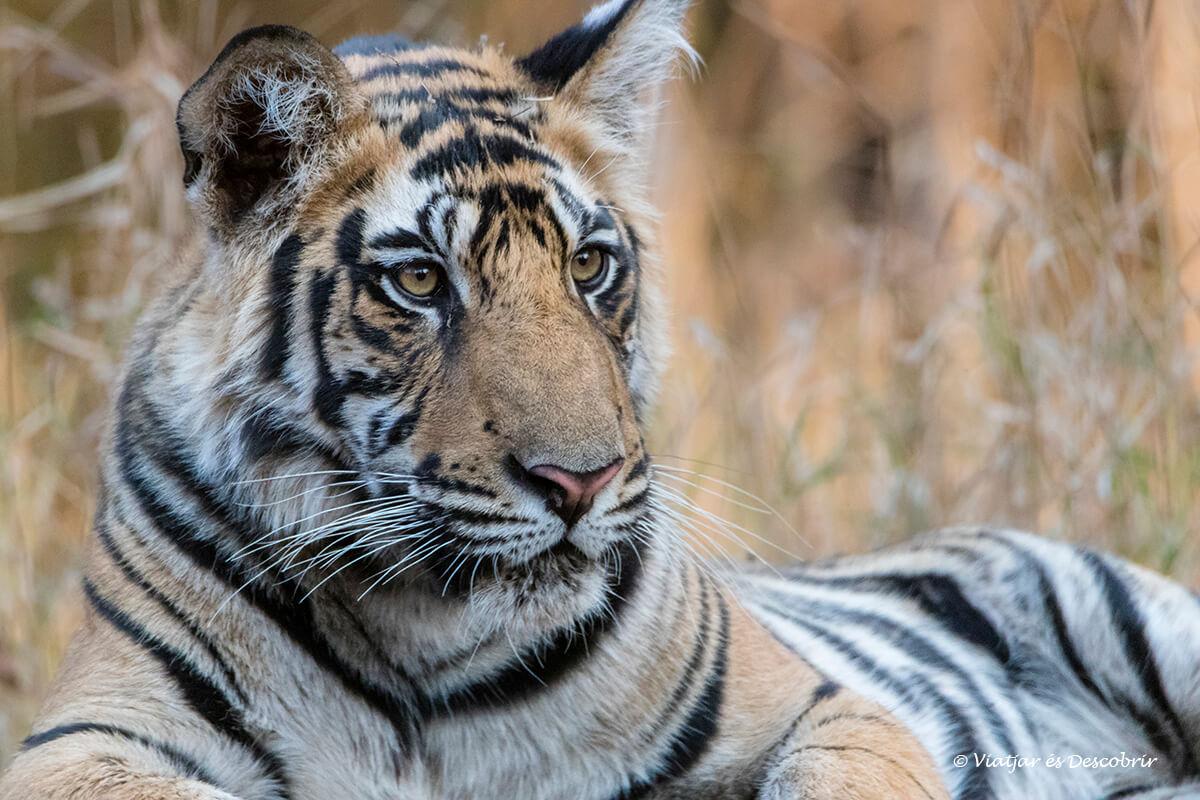 primer plano de un tigre de bengala en el parque de bandavghar