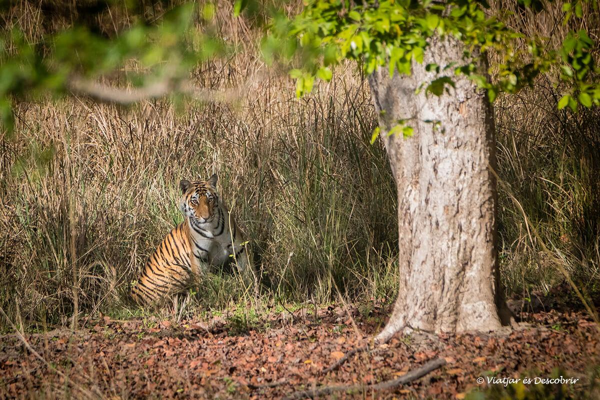 tigre de bangala camuflado entre los árboles y arbustos de kanha