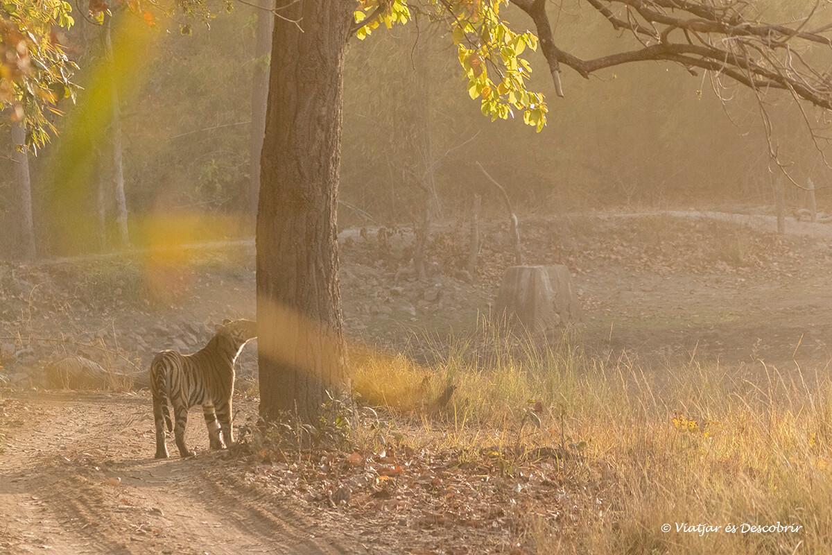 mientras sale el sol ver un tigre de bengala es precioso