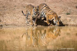 Viaje a la India en 16 días. Fotografiando el tigre de bengala