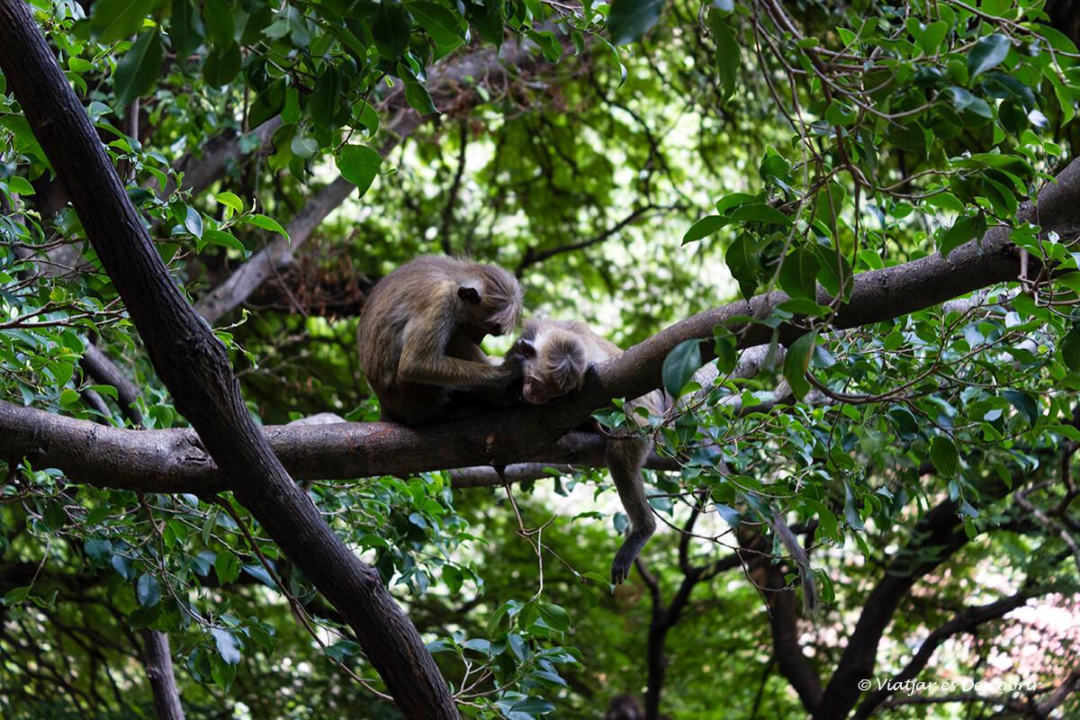 macacos durante la subida a las cuevas Dambulla a sri lanka