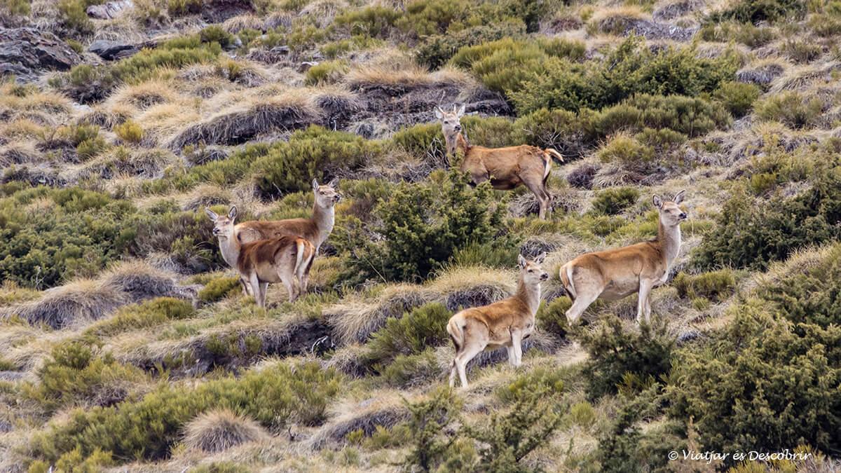 grupo de ciervos en la cerdanya francesa