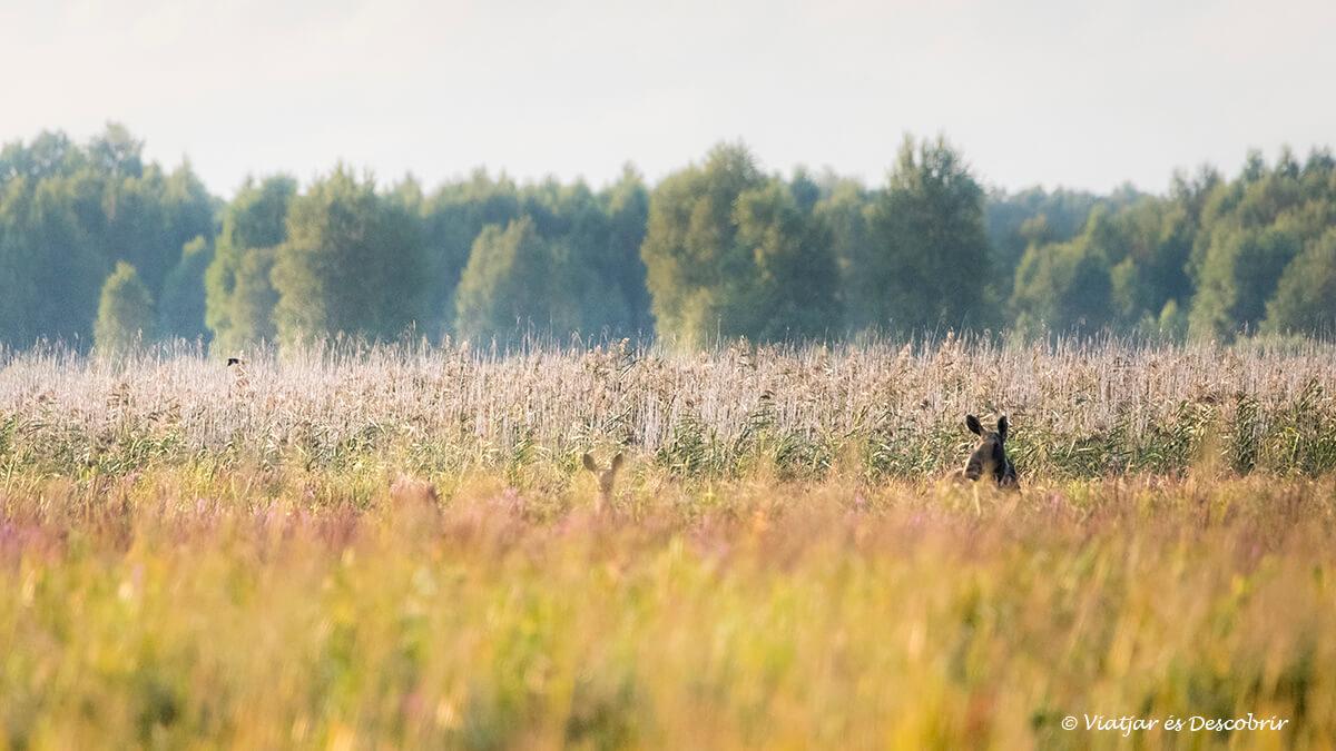 alces en bierbza al norte de polonia