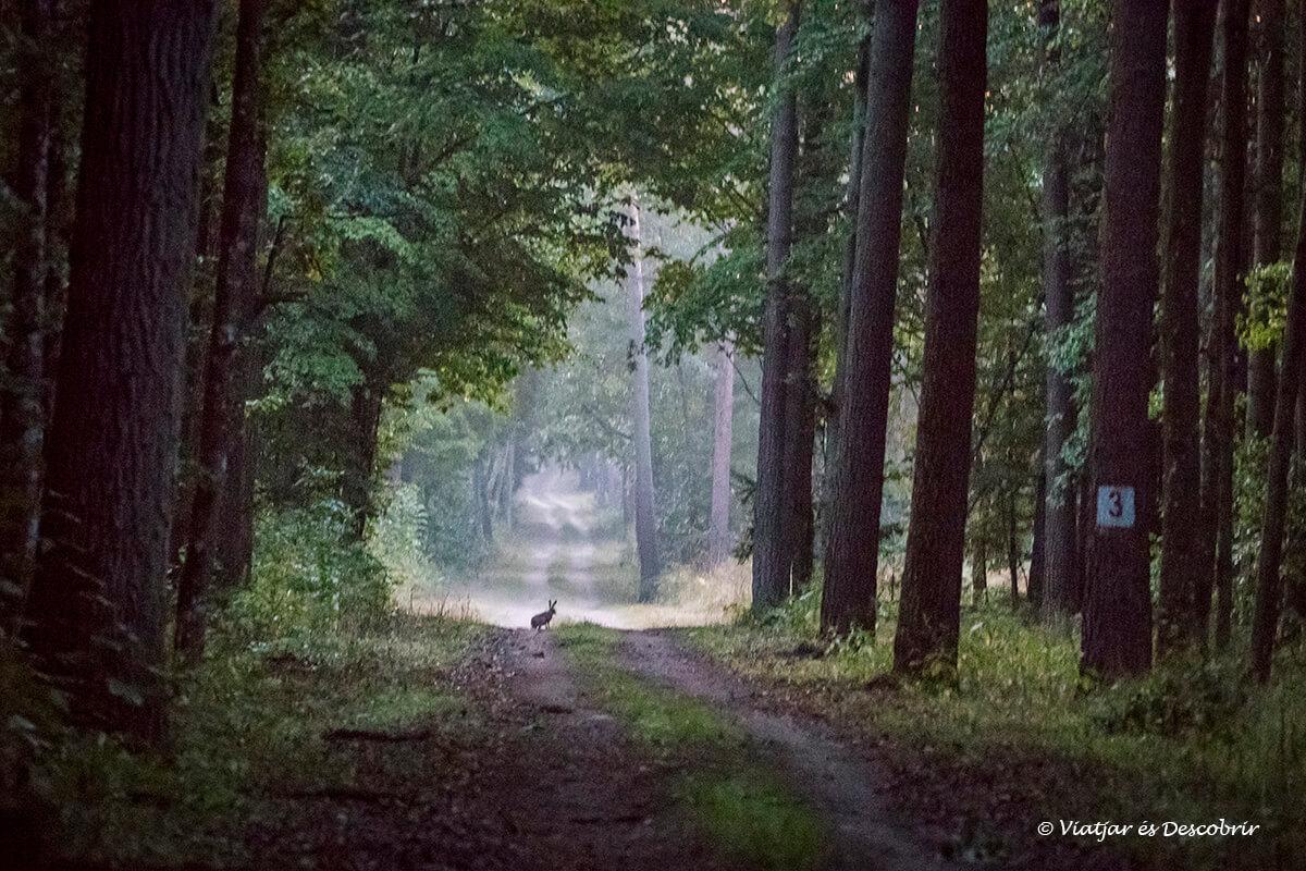 conejo en Bialowieza mate del viaje a polonia