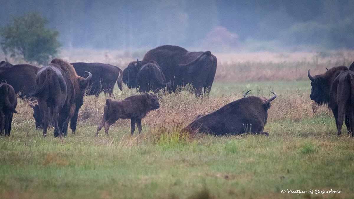 grupo de bisontes en Bialowieza